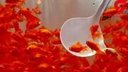 ماهیان قرمز ناقل ویروس کرونا نیستند