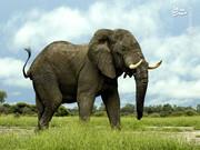 حمام کردن فیل + عکس