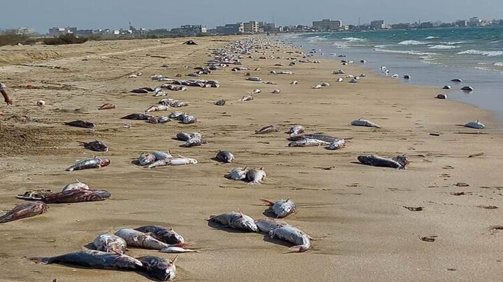 فاجعه تلف شدن گربهماهیها در ساحل جاسک
