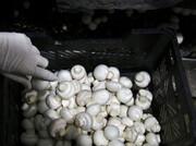 عامل توزیع قارچهای تاریخ گذشته در پایتخت دستگیر شد