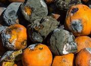مقصر پوسیدگی چندین هزار تن میوه کیست؟