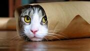 انتقال کرونا از انسان به گربه