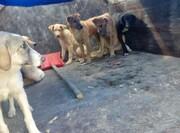 عملیات جمعآوری سگهای بلاصاحب در بومهن آغاز شد