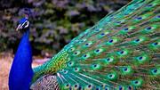 طاووس های زیبا در خانه مرد مشهدی