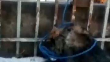 آخرین جزئیات دار زدن سگها توسط شهرداری تبریز