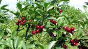 میوه ای سرخ با خواصی کم نظیر / درمان بسیاری از بیماری ها