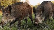 گراز های وحشی آرامش شهر را برهم زدند  / خسارات مالی فراوان به کشاورزان