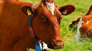 قتل عام 150 گاو گرسنه !!/ مرد بی رحم بازداشت شد