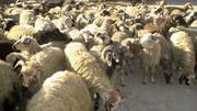 گوسفندان به مقصد نرسیدند / قاچاقچیان به دام افتادند
