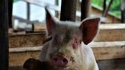 خوک وحشی نوزادی ۱ ماهه را خورد!!