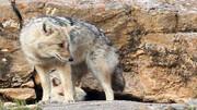 حمله وحشتناک گرگ وحشی به اهالی همدان!