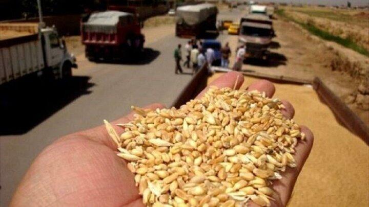 بیش از ۵۰۰ تُن گندم قاچاق در زنجان کشف شد