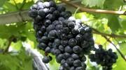 پیشبینی برداشت بیش از ۱۲۶ هزارتن انگور