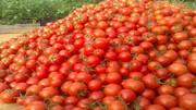 حدود ۳۱۰ هزار تن گوجه فرنگی در استان قزوین تولید میشود!