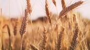 افت ۳۰ درصدی تولید گندم /  نرخ گندم در شورا ۷ هزار و ۵۰۰ تومان مصوب شد