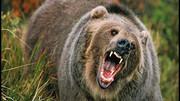 زن بیچاره توسط ۵ خرس وحشی دریده شد + عکس دلخراش