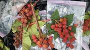 کشف «سیب شیطان» در جنوب تهران / داتورا چیست ؟