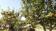 باغهای چشمه گیلاس مملو از گلابی های آبدار پاییزی + تصاویر