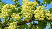 عرضه انگور خراسان شمالی در بازارهای جهانی