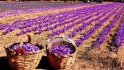 خبرهای خوب برای زعفران کاران