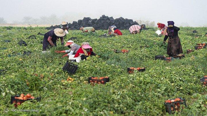 برداشت گوجه فرنگی از مزارع کبودراهنگ آغاز شد