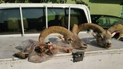 شکارچی غیرمجاز در البرز به دام افتاد