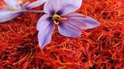 معامله ی ۴۸۸ کیلوگرم زعفران در بورس