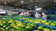 ۵۶۰ تن نارنگی پیشرس صادر شد
