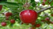 آغاز برداشت سیب درختی در مراغه