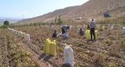 تولید ۲۱ هزار تن سیبزمینی در فیروزکوه