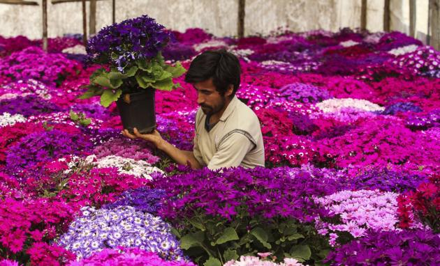 تصاویر/ پرورش گل های بهاری در پاکدشت