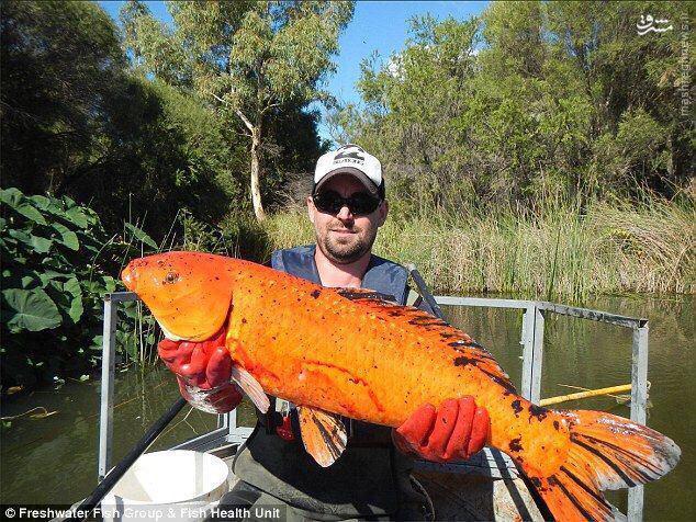 عکس/ ماهی قرمز ۸ کیلویی در استرالیا