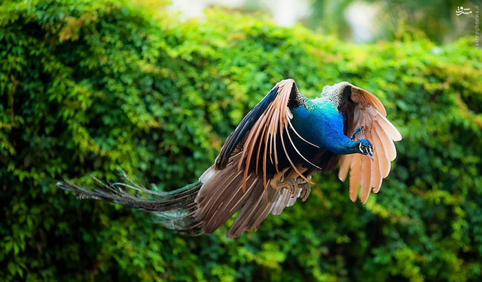 تصاویر/ لحظه پرواز طاووس