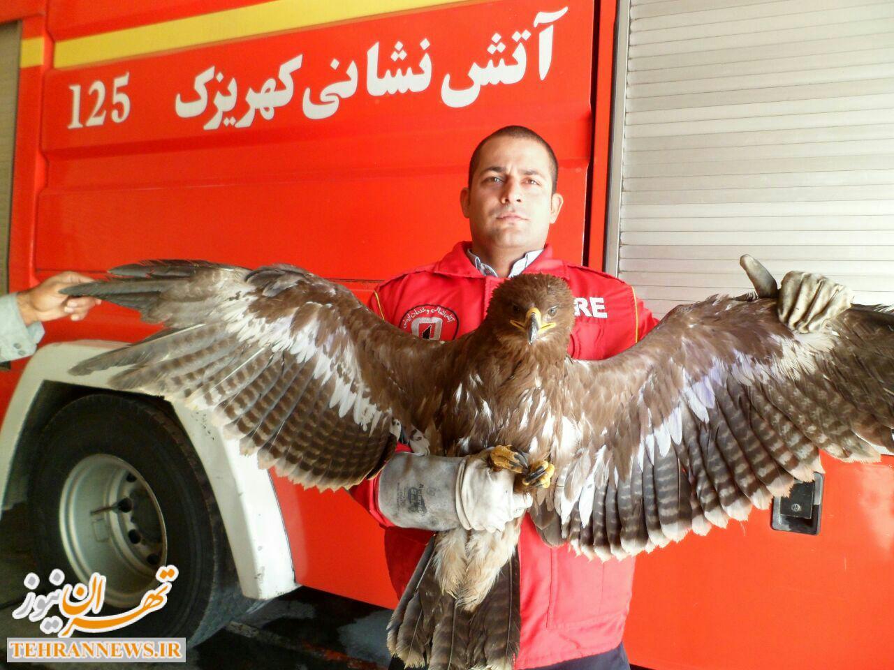 نجات یک بهله عقاب از میان پالتهای چوبی در جنوب تهران