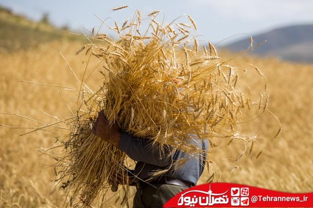 نیاز کشور به واردات ۷ میلیون تن گندم در سال زراعی جاری