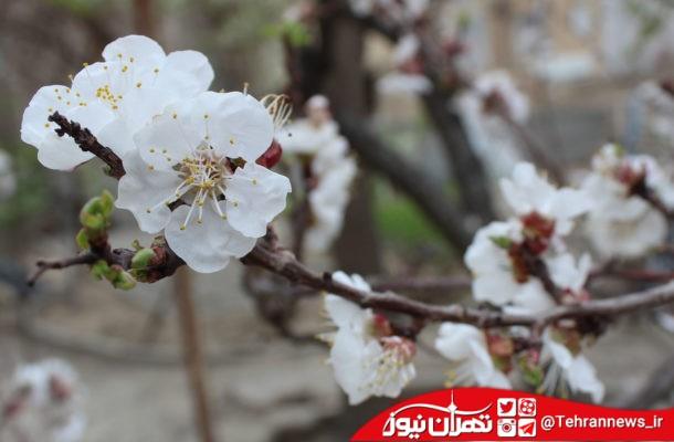 شکوفه های بهاری خانه پدری از نگاه دوربین