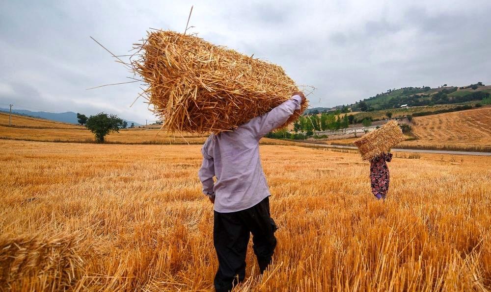 دولت نرخ خرید تضمینی گندم را باید افزایش دهد